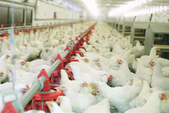 chicken-farm-eggs-and-poultry-production